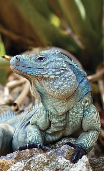 Blue Iguana (only found on the Caribbean Island Grand Cayman) Slithers Back from Extinction by Fred Burton. This is a male Grand Cayman Blue Iguana (Cyclura lewisi) at his peak. This reptile often grow to more than 5 ft in length and 25 lbs.