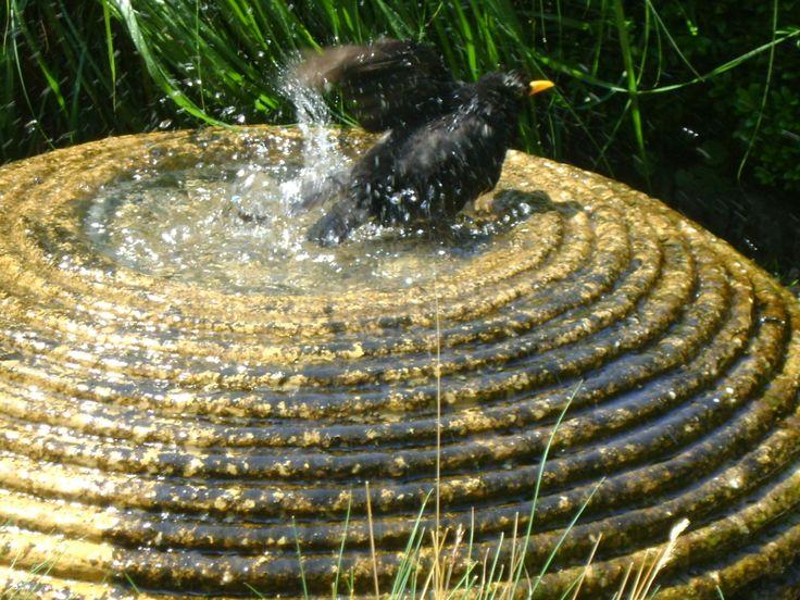 The blackbird loves this bath