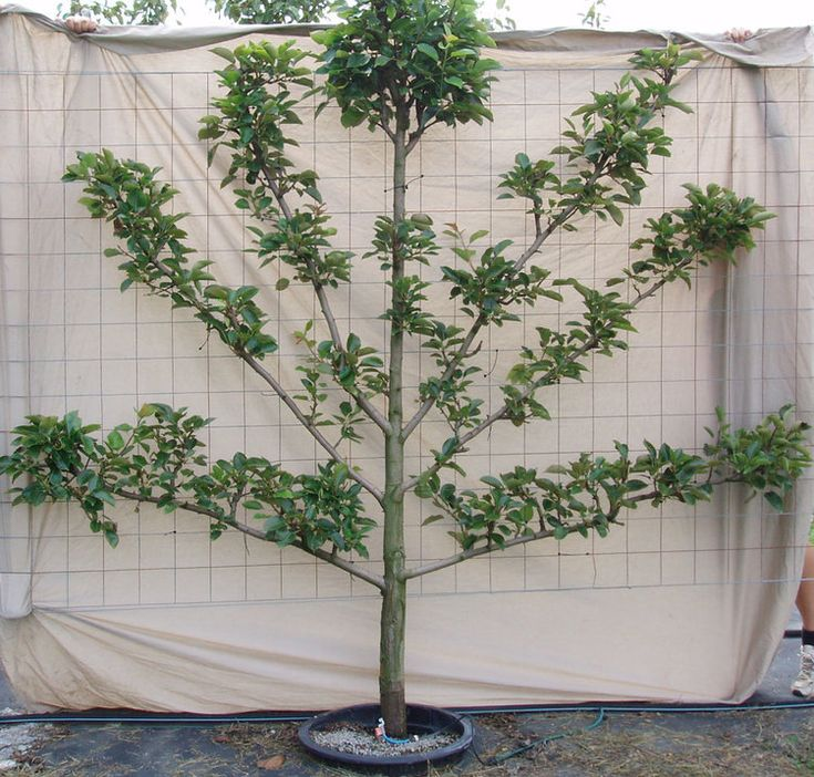 Haus And Home Intro To Espalier
