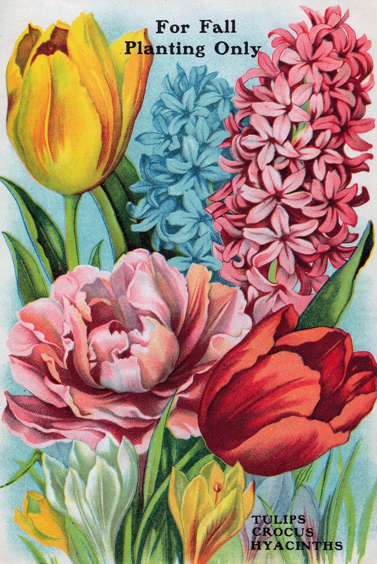 Tulips, Crocus, and Hyacinths from Antique Seed Catalog