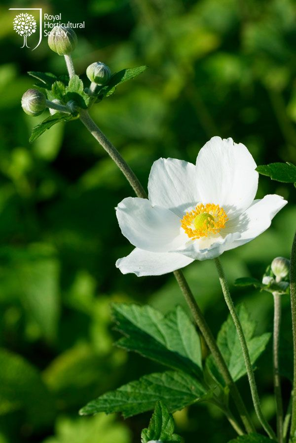Royal Horticultural Society (RHS) - Anemone × hybrida 'Honorine Jobert', Japanese anemone. Up to 11 white petals, tinged pink, make up the glorious late summer and autumn flowers. The outer petals are broad and overlapping, while the inner ones are usually twisted and thinner.
