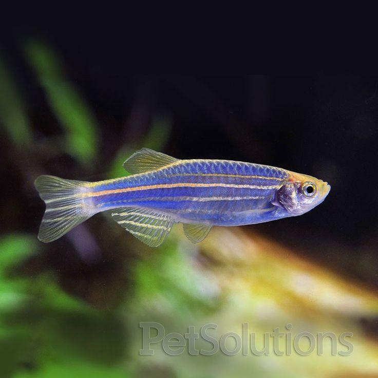 Glofish cosmic blue zebra danio freshwater aquarium fish for Blue freshwater fish