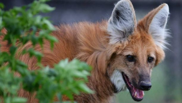 White Wolf : Stunning Photos Showcase A Truly Unique Animal : Maned Wolves