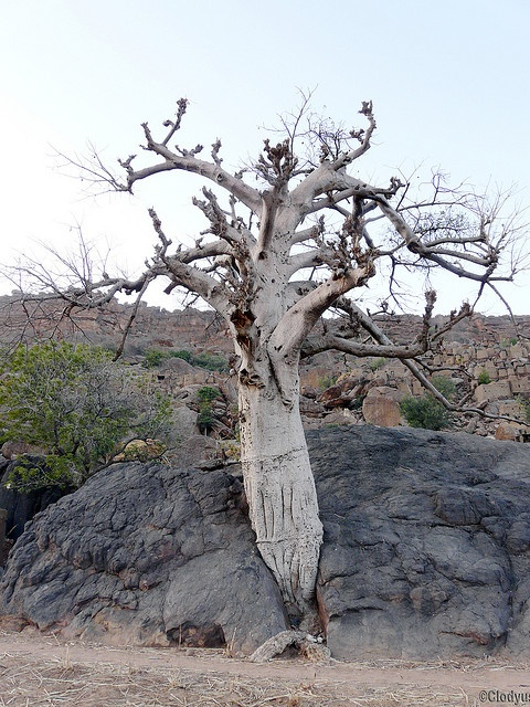 Africa |  Sights and Sounds.  Yendouma - Baobab.  Mali