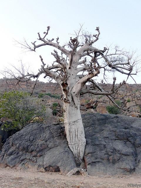 Africa |  Sights and Sounds.  Yendouma - Baobab.  Mali