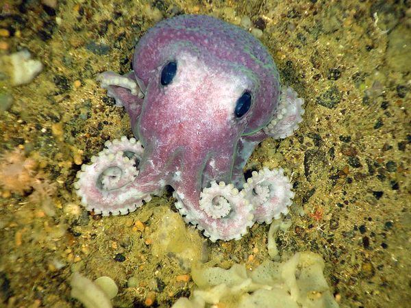Hello!  Let's be best friends!  Brand new purple octopus discovered in Canada