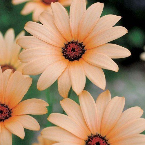 African Daisy Salmon Flower Seeds (Dimorphotheca Sinuata Salmon) 50+Seeds - Under The Sun Seeds  - 1