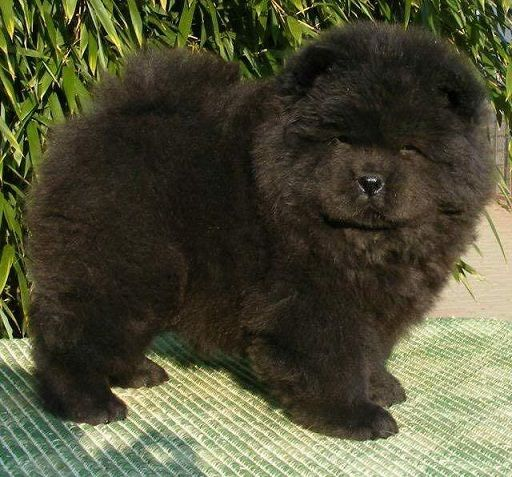 chow chow mini for sale  09192804039 kian