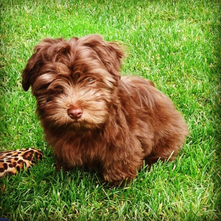 My new Havanese puppy, Marco Rubio Rogers, Bellevue, WA  2013