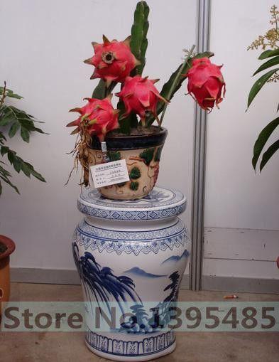 100 pcs dragon fruit seeds pitaya seeds NO-GMO fruit seeds for home garden planting