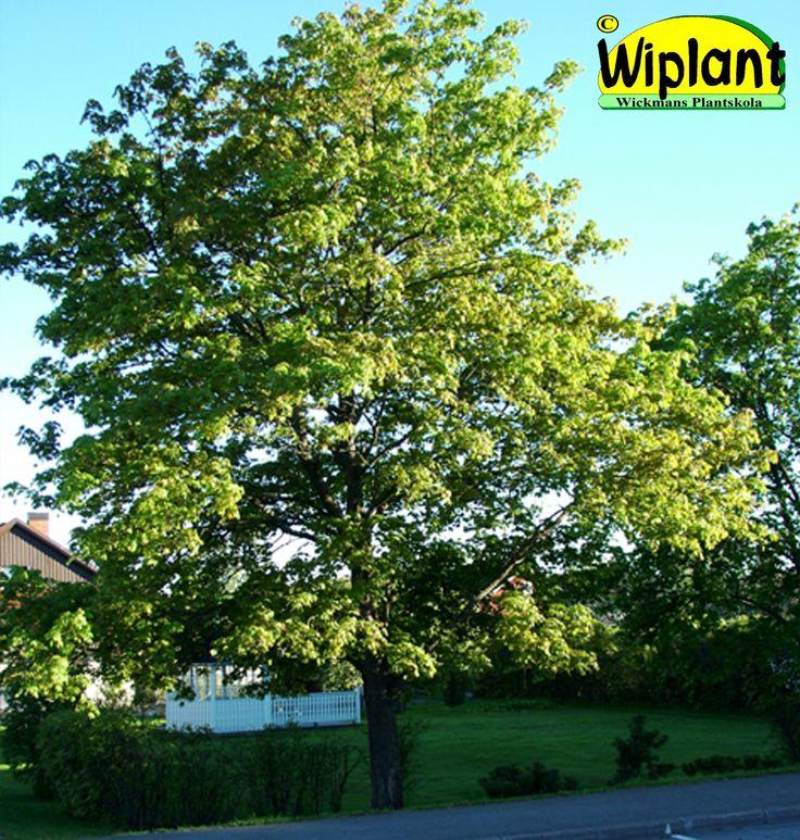 Acer platanoides, Lönn. Stora löv, mycket vacker höstfärg. Höjd: 10-20 m.