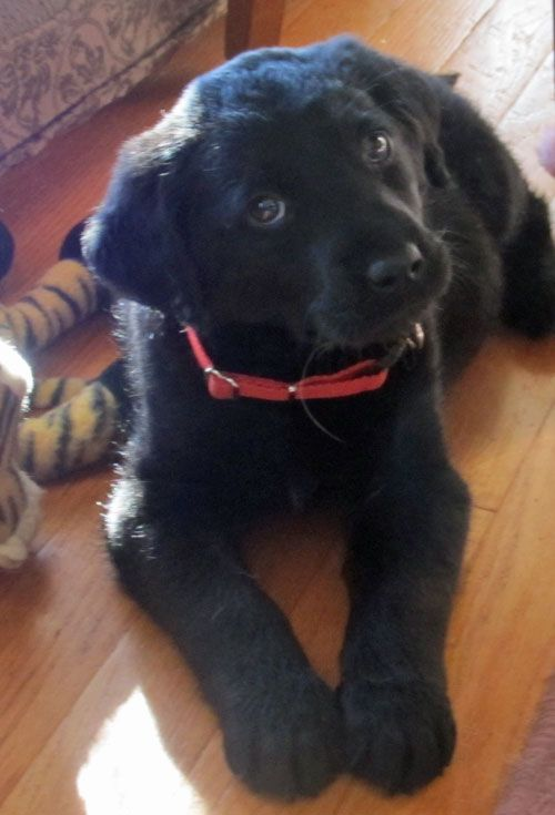 Talking Dogs at For Love of a Dog: There's a New Dog Girl at Talking Dogs!  Meet Rosie!  She's 8 weeks old.  A black Golden Retriever / Labrador Retriever mix that we adopted from Dogwood Animal Shelter.