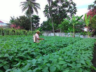 Pemberantasan hama ulat pada tanaman edamame
