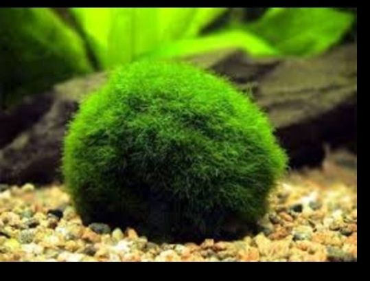 10 best images about betta community aquarium on pinterest for Moss balls for fish tanks
