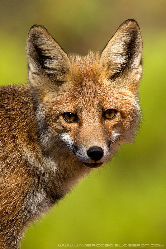 Red Fox by Javier Coso                                                                                                                                                                                 More