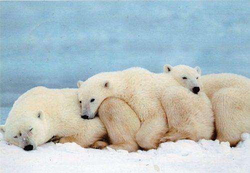 Celebrado no dia 27 de Fevereiro, o Dia Internacional dos Ursos Polares celebra um dos mais impressionantes caçadores do reino animal e o maior mamífero ca