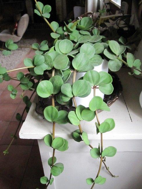"Peperomia rotundifolia ""Trailing Jade"""