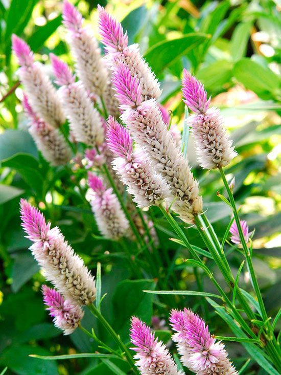 Pink-and-White Celosia This sun-loving, old-fashioned annual produces a profusion of 4- to 5-inch feathery plumes from summer into fall. Start seeds indoors five weeks before last frost. Size: 1-4 feet tall; 6-18 inches wide