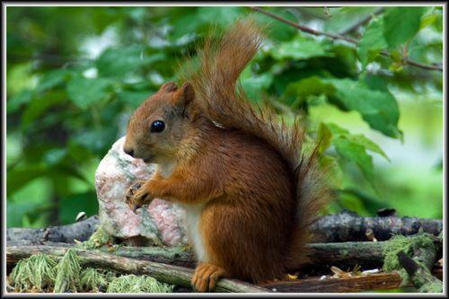 Ekorn (Sciurus vulgaris) «Red Squirrel»
