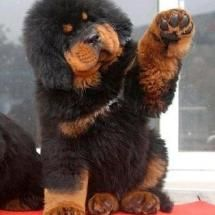 Tibetian Mastiff PUPPY!!