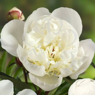 Paeonia lactiflora Madrid