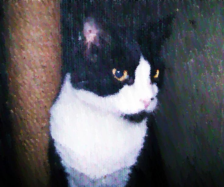 Patrick, the Tuxedo Cat