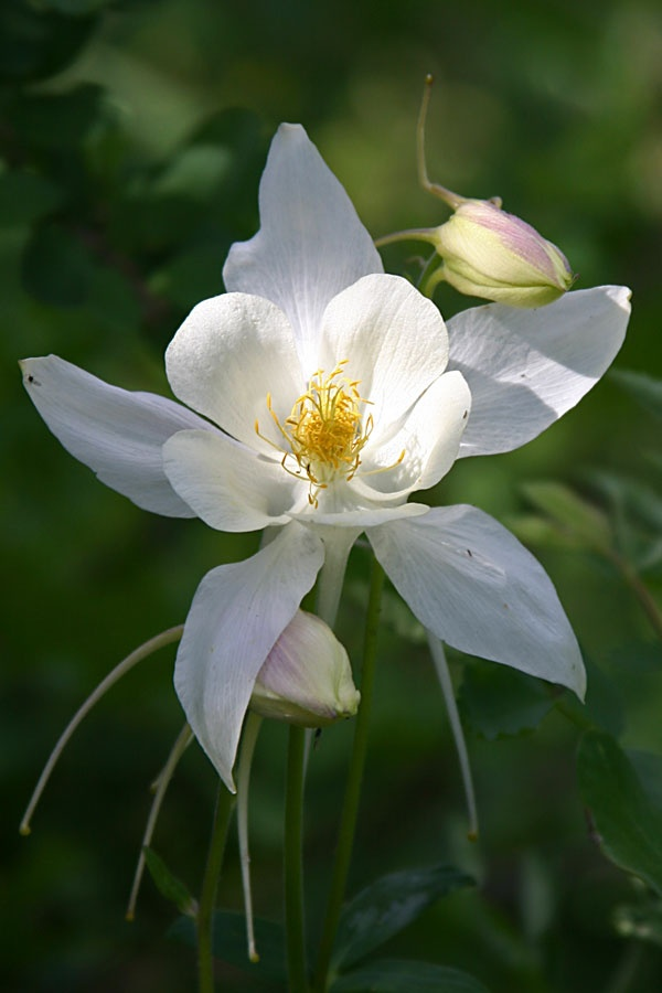 how to grow a columbine flower