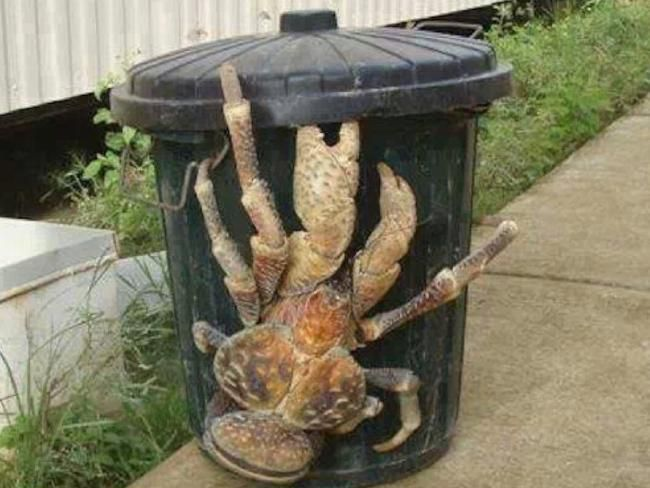Tourist gets up close to monstrous Christmas Island coconut crab ...