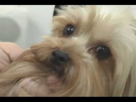 How to groom a Yorkshire Terrier - Wizard of Paws Grooming School