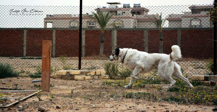 """Aybar """" Alabai dog """""""