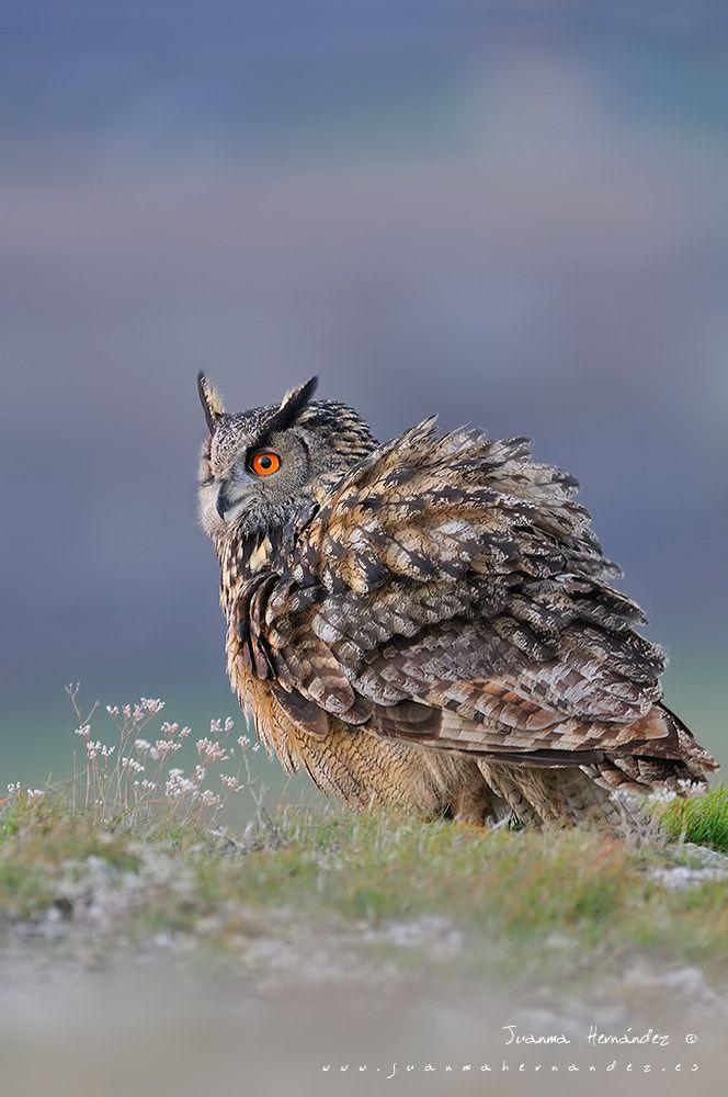 Buho real (Bubo bubo) - Búho real (bubo bubo) en estado salvaje, desperezándos tras el descanso diurno.  European eagle owl (Bubo bubo)