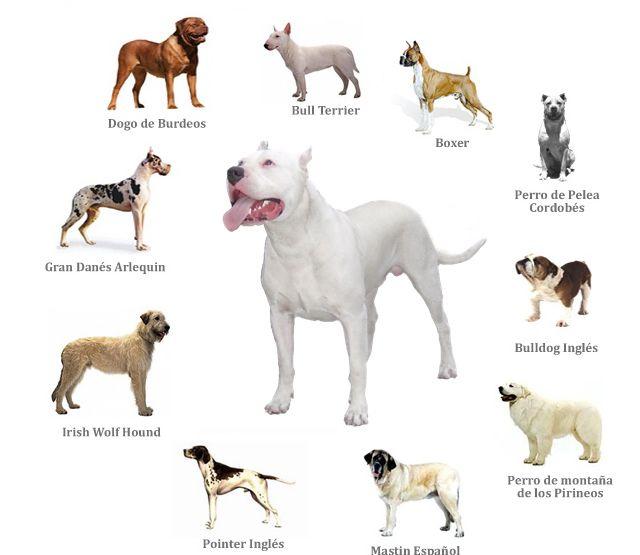 https://i.pinimg.com/736x/a5/8c/0b/a58c0b2ab202f00c02296fe8acb41f87--cordoba-spanish-mastiff.jpg