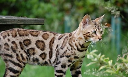 Here is where to get bengal cats for sale, male bengal cats available. More information on male bengal cat prices and bengal cat pictures here.
