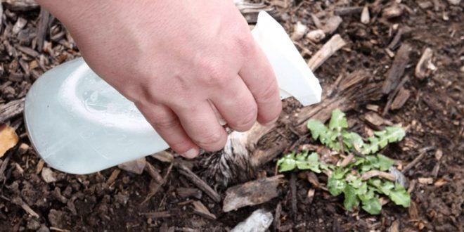 Slikovni rezultat za Poprskao je OCATOM biljku a kada vidite razlog sigurno ćete probati ovaj trik u vašem vrtu!