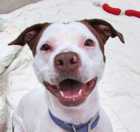 Meet Lacy, a Petfinder adoptable Pit Bull Terrier Dog | Twinsburg, OH | Lacy is around 4 years old and weighs about 50 pounds. She has potential with the right dog and...