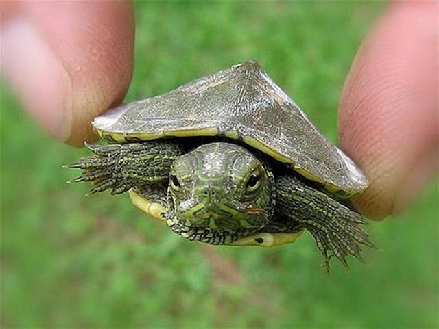 how to tell the gender of a turtle