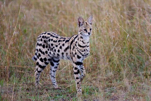 Adult Serval Cat... I think it would be pretty neat to own one lol they go on walks like dogs