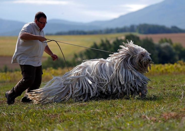 Hungarian Komondor, herding dog, with hair that resembles a mop .. or dreadlocks.