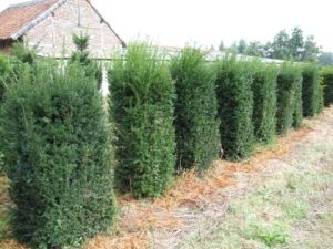 116 Best Images About Yew Hedges On Pinterest Gardens