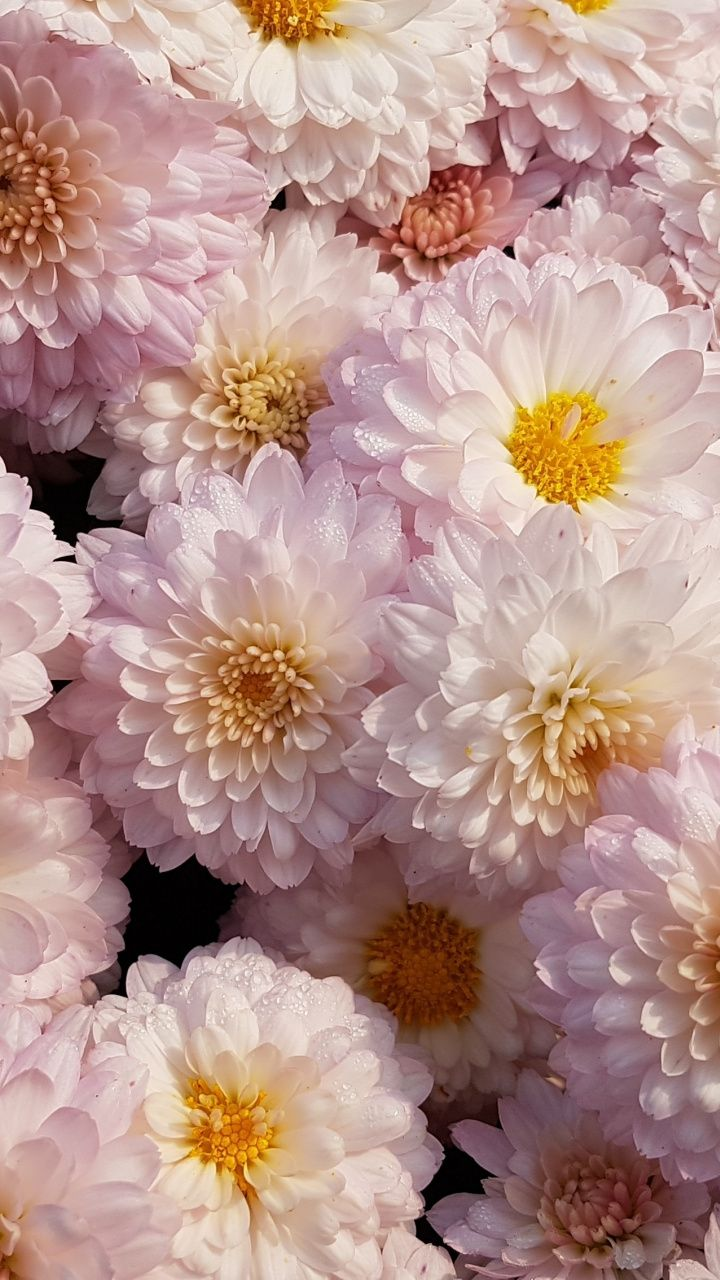 Chrysanthemum Flower Pink 720x1280 Wallpaper Flower Aesthetic Chrysanthemum Plant Flower Wallpaper