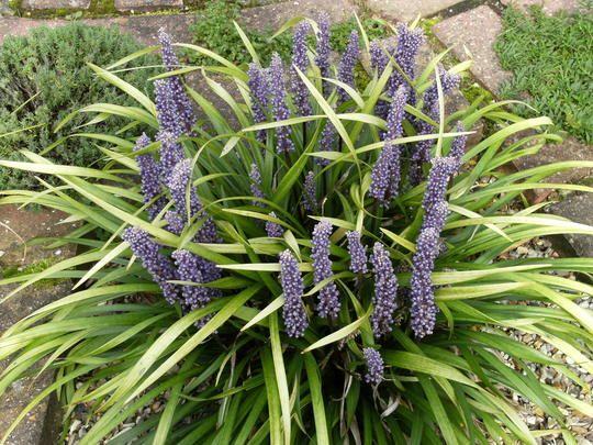 Turf Lily (Liriope muscari (Lilyturf)) Round Patio Garden ...