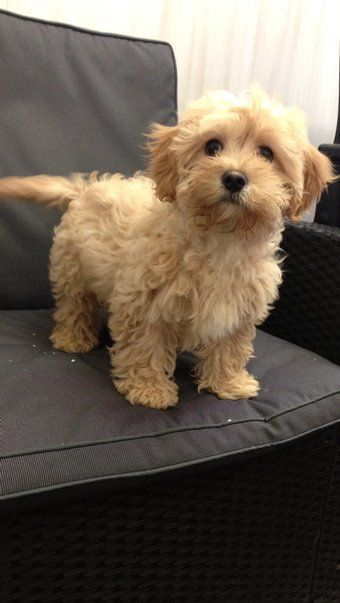 Just discovered the cavapoo: a mix between a King Charles Cavalier and a poodle. I'm OBSESSED!!! LOOKS JUST LIKE MOLLY