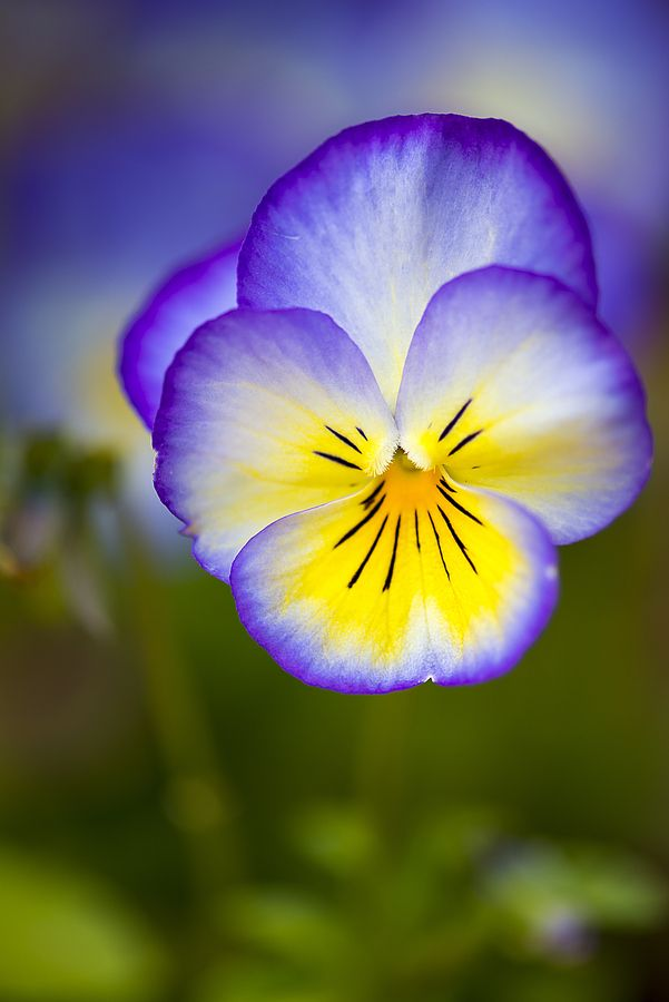 pansy flower, my favorite kind<3