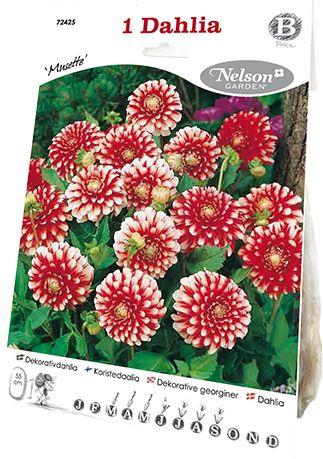 Dahlia Musette, ca, 55 cm.. dahlia med røde, fyldte blomster, hvis spidser er dekorativt farvede i hvidt. God som kantplante i bede, men også i potter.