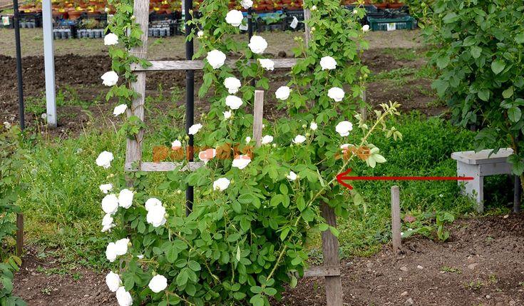 ramuri-noi-trandafiri-urcatori.jpg 1.200×700 pixeli
