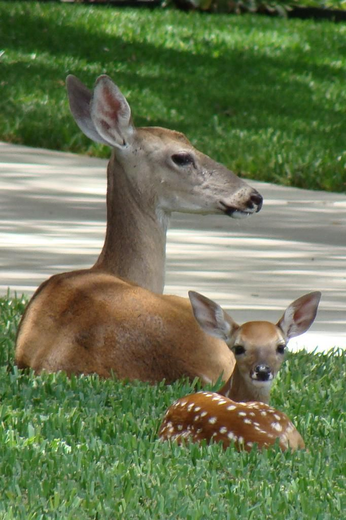 Bambi & Mama by artemis. Looks like they're watching a parade go by