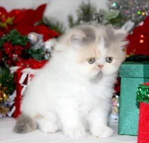 High White Dilute Calico Teacup Persian Kitten