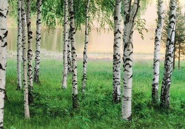 Fototapete - Birkenwald am See - Nordischer Wald - Klicken für grössere Ansicht