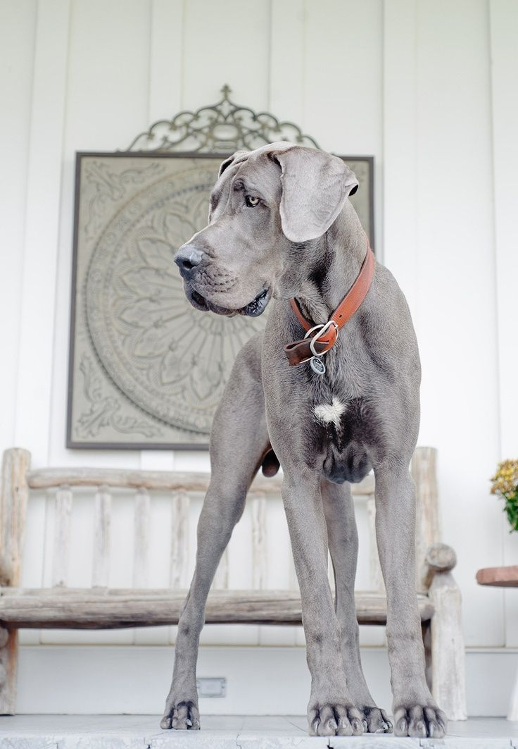 Duitse dog/Great Dane