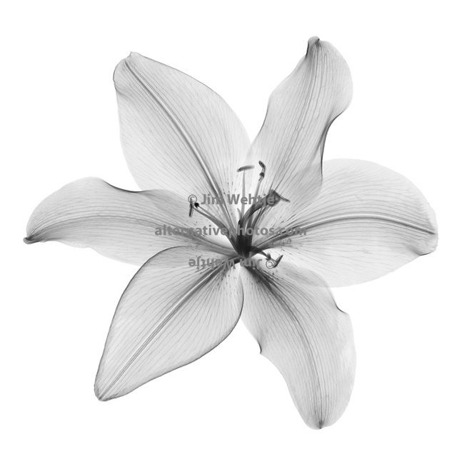 xray lily | add to cart add to lightbox x ray art print